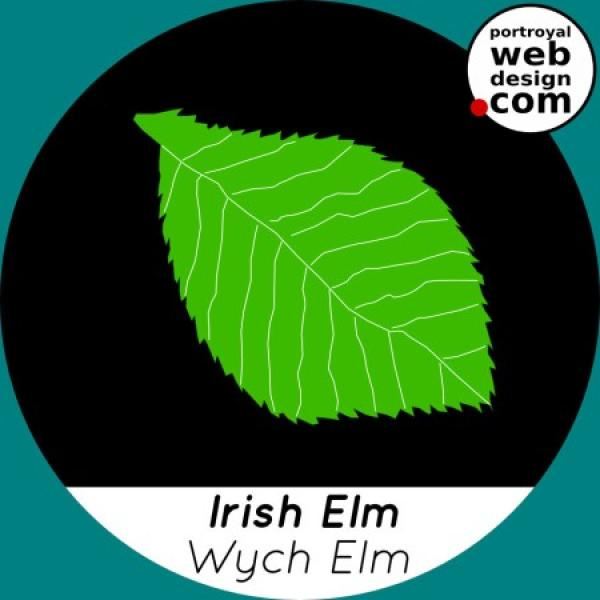 Irish Elm